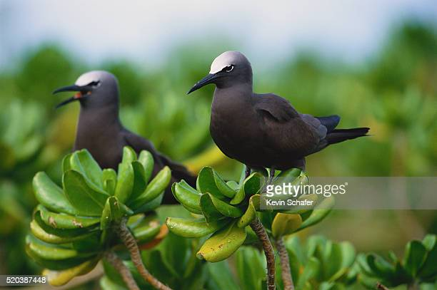 black noddies - midway atoll stock pictures, royalty-free photos & images