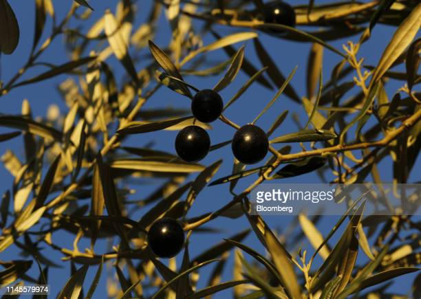 Black olives hang from a branch in a grove in La Roda de Andalucia Spain on Wednesday March 13 2019 The relationship between Washington and Madrid is...