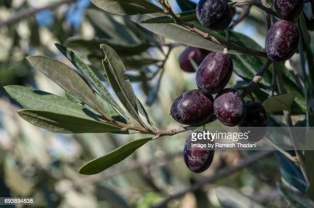 Black Olives ripening on the tree