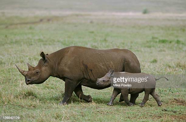 Black or hook-lipped rhinoceros, Diceros bicornis, mother and young calf. Ngorongoro crater, Tanzania.