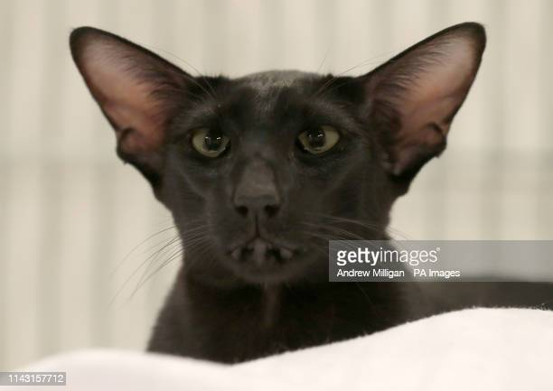 Black Oriental shorthair cat at the Nor' East of Scotland Cat Club and the Siamese Cat Society of Scotland championship show held at the Caird Hall...