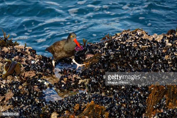 Black Oystercatcher and Purple Sea Urchin