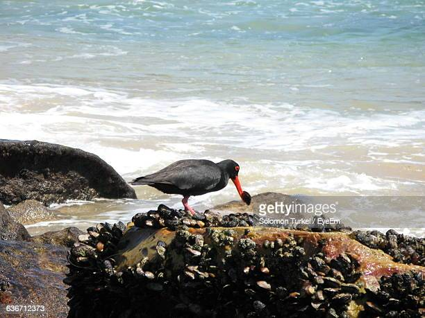black oystercatcher with mussel in beak on rock - solomon turkel stock pictures, royalty-free photos & images