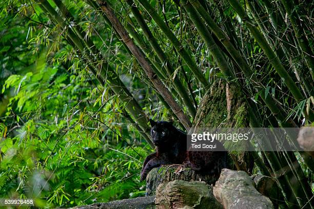 A Black Panter rest inside the Taman Safari The Taman Safari in Bogor Thousands of wild and nearly extinct animals live on the safari site which...
