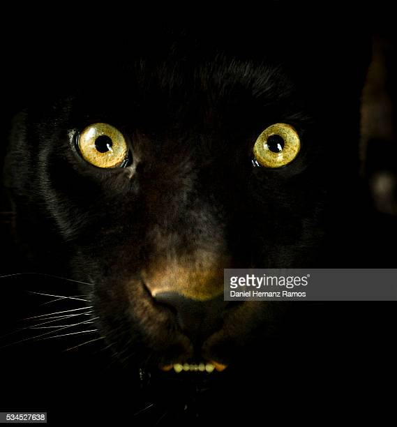 Black panther eyes. Panthera pardus