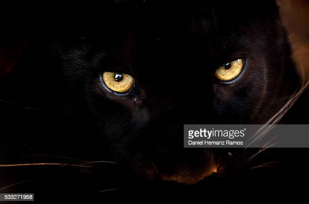 Black panther eyes.Panthera pardus
