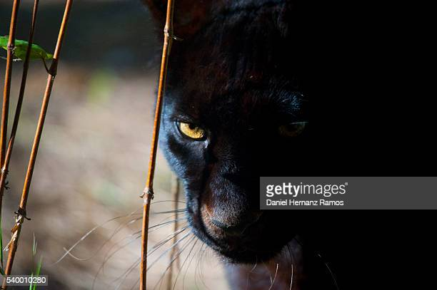 black panther face detail. black leopard. panthera pardus - black panther face stock photos and pictures