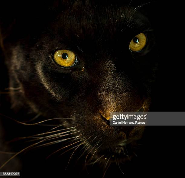 Black panther face detail. Black leopard. Panthera pardus
