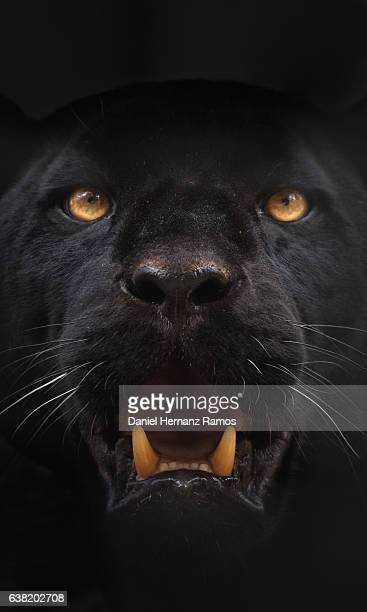 black panther face detail looking at camera. black jaguar panthera onca - dark panthera stock pictures, royalty-free photos & images