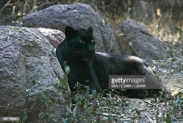 Black panther Felidae