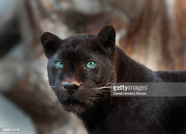 black panther green eyes. panthera pardus - black panther face stock photos and pictures