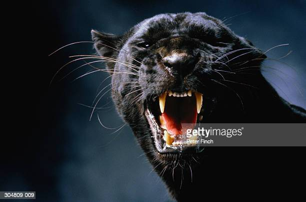 black panther (panthera pardus) growling, head-shot - leopard stock pictures, royalty-free photos & images