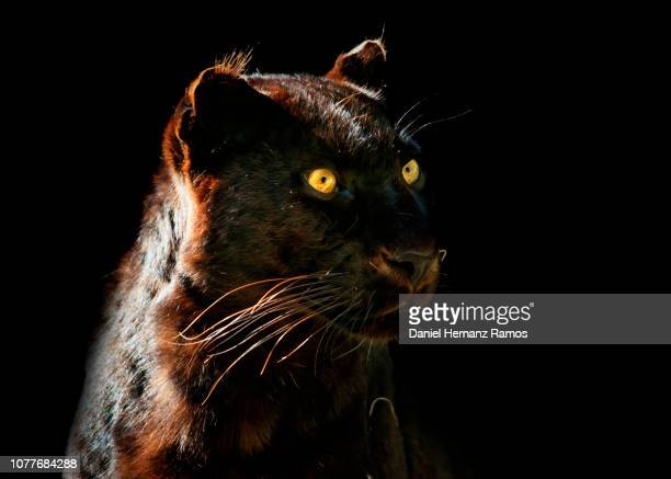 black panther head detail with black background - dark panthera stock pictures, royalty-free photos & images