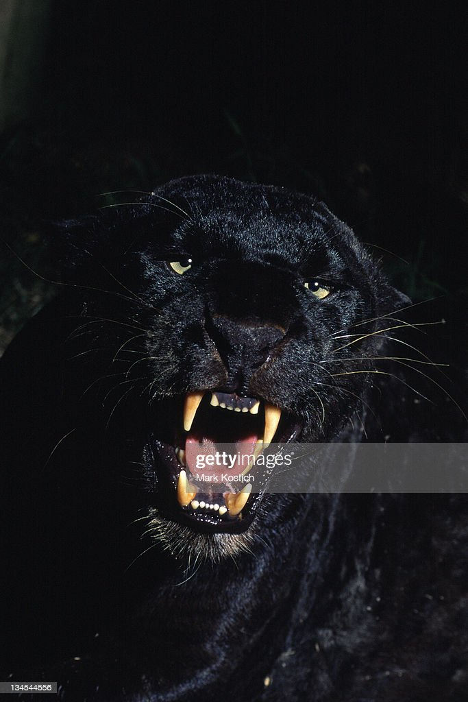 Black Panther - Leopard : Stock Photo