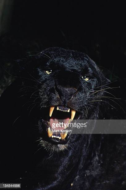 Black Panther-Leopard