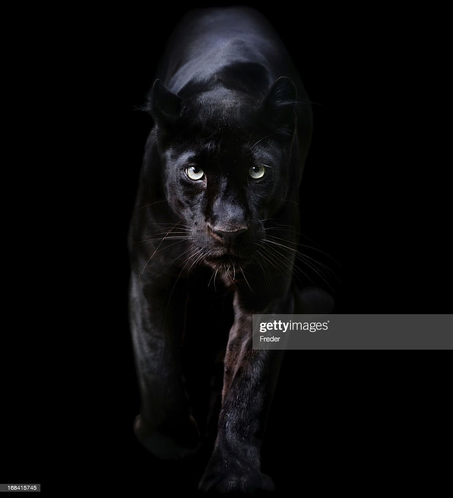 Black Leopard Stock Photos And Pictures