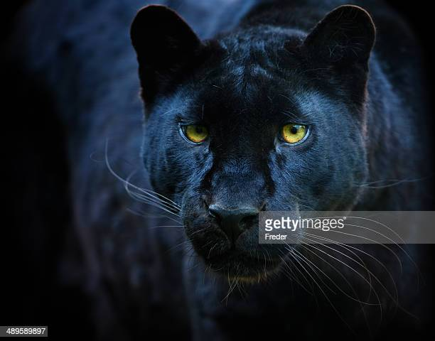 black panther - animal eye stock pictures, royalty-free photos & images