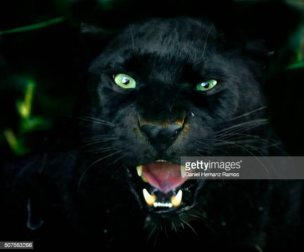 black panther - black leopard stock pictures, royalty-free photos & images