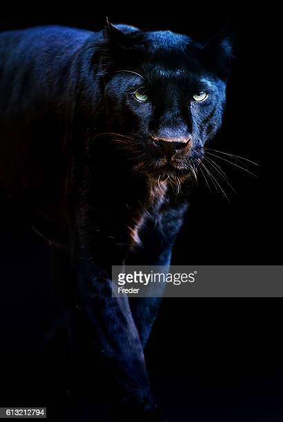 black panther - dark panthera stock pictures, royalty-free photos & images