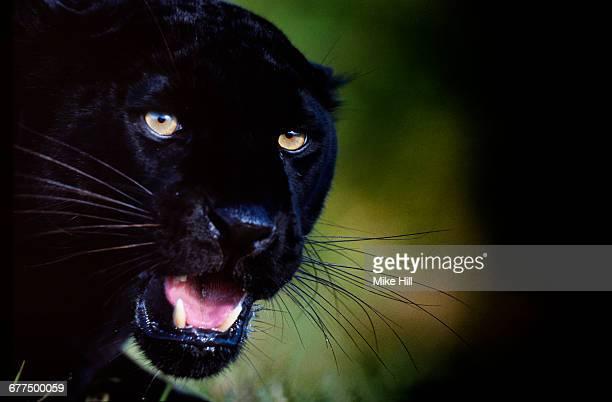Black Panther (Jaguar)