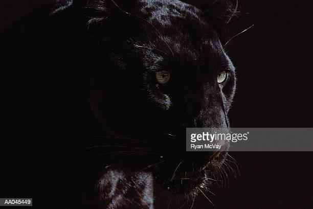 black panther (panthera pardus) - dark panthera stock pictures, royalty-free photos & images
