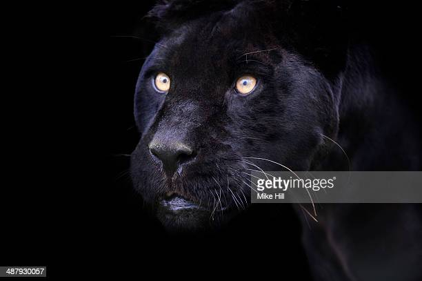 black panther portrait - black panther face stock photos and pictures