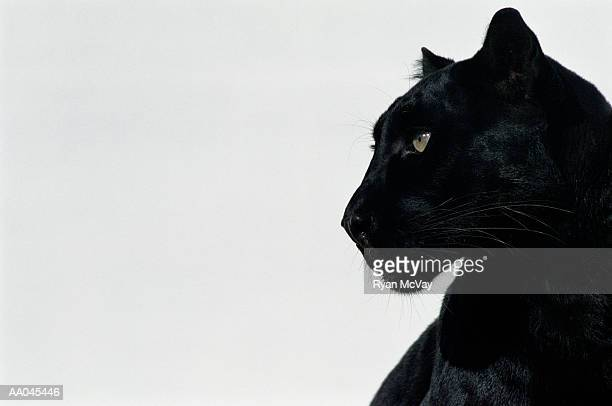 black panther (panthera pardus), profile - leopard photos et images de collection