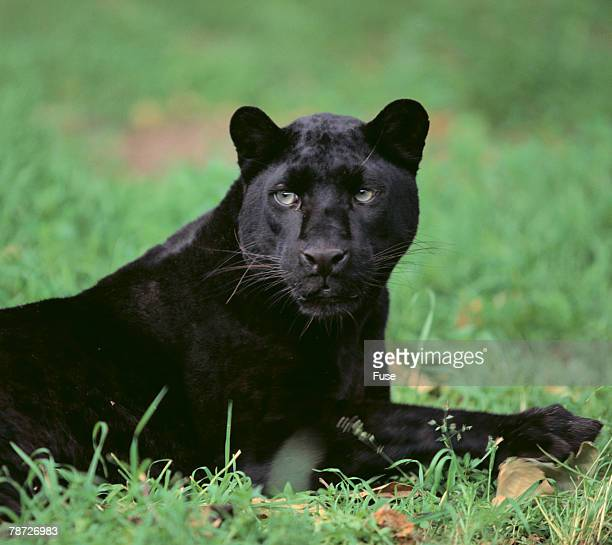 black panther sitting in grass - black leopard stock pictures, royalty-free photos & images