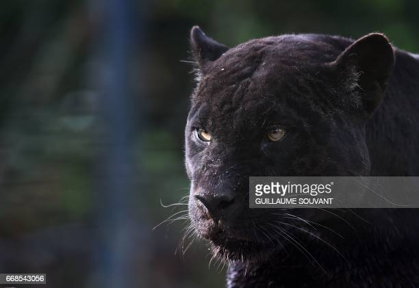 Black panther strolls through its enclosure at the Zooparc de Beauval in Saint-Aignan, central France, on April 14, 2017.