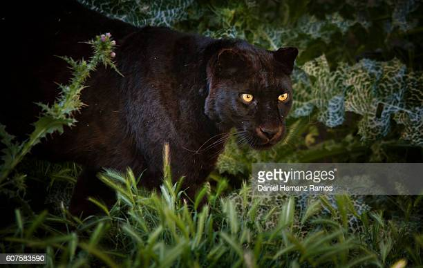 black panther surrounded by vegetation in attitude hunt. panthera pardus - black panther face stock photos and pictures