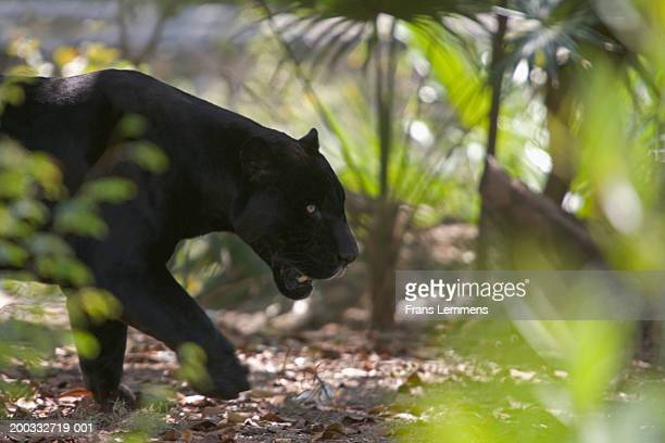 Black panther (Puma concolor) walking side view