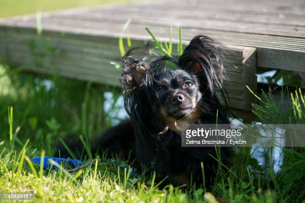 black papillon dog sitting on field - papillon dog stock photos and pictures