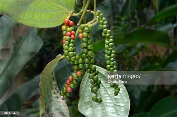black pepper plant, trivandrum, kerala, india, asia - peppar bildbanksfoton och bilder