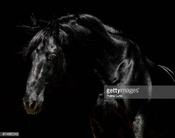 black - stallion stock pictures, royalty-free photos & images