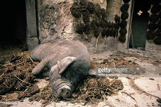 Black pig sleeping in pig manure