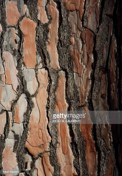 Black Pine or Austrian Pine bark Pinaceae