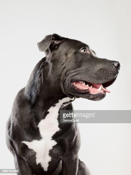 Black pit bull dog sitting portrait