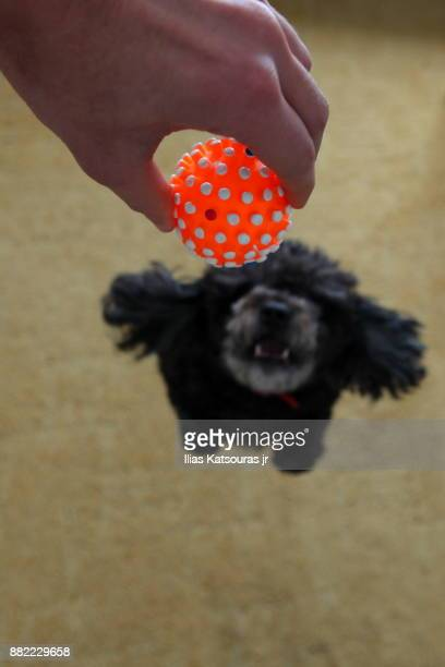 Black poodle dog jumps to catch squeaky ball toy, defocused