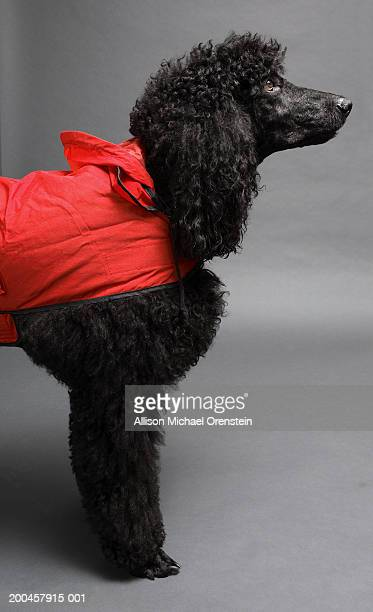 Black poodle in red jacket, side view
