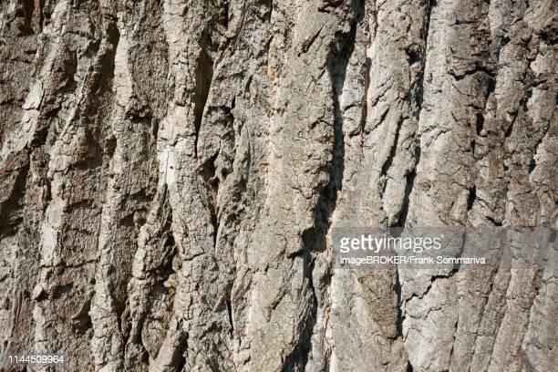 bark willow în varicoză