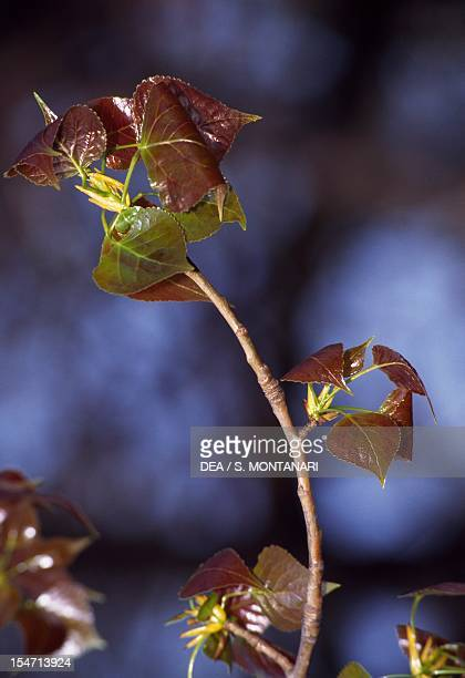 Black Poplar branch with leaves Salicaceae Italy