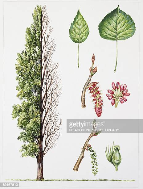 Black Poplar illustration