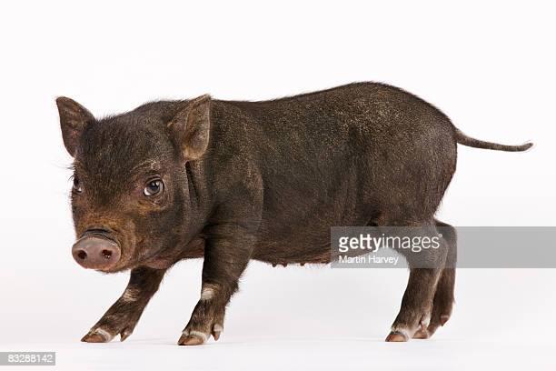 Black Pot-bellied piglet.