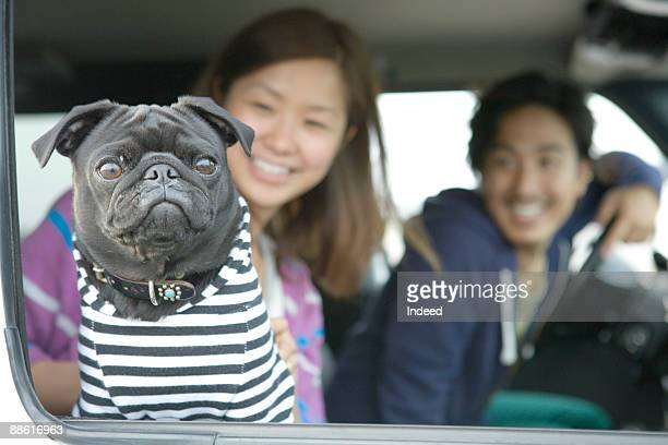Black pug looking out car window, couple smiling