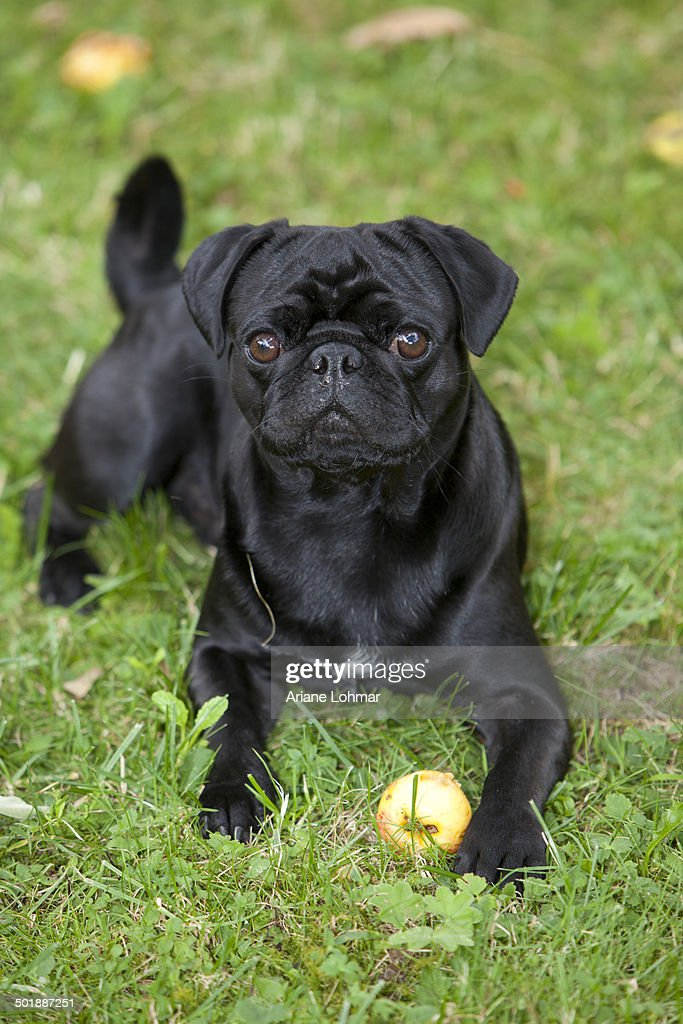 Black Pug Lying On The Grass And Eating An Apple Stock Photo Getty