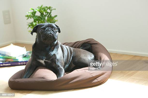 black pug resting on his mat, looking up - sacco photos et images de collection