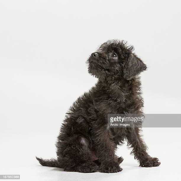 Black puppy, mixed breed
