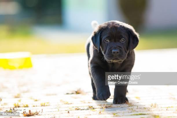 black puppy walking - cristian neri foto e immagini stock