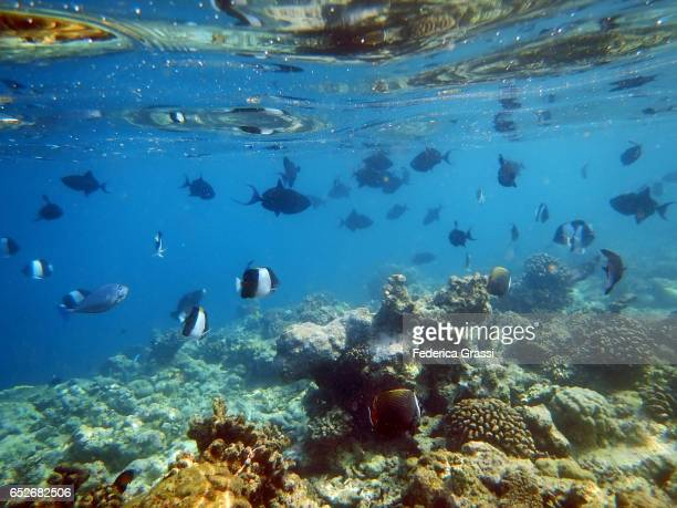 Black Pyramid Butterflyfish And Red-toothed Triggerfish