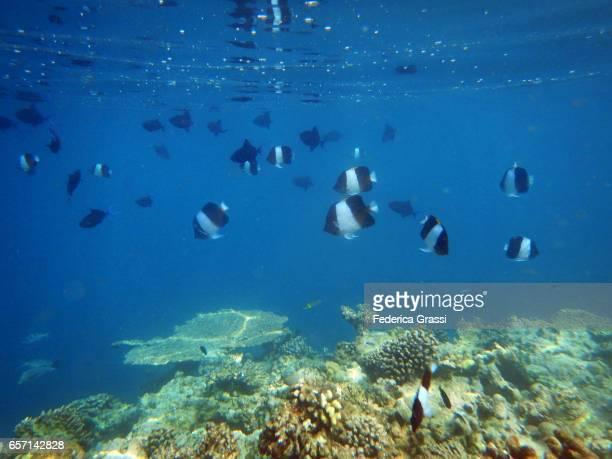Black Pyramid Butterflyfish (Hemitaurichthys zoster)